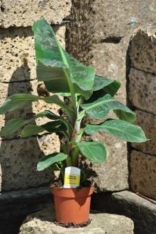 Bananenpflanze,Fruchtbanane,Musa Dwarf,Zwergbanane,Pflanze mit ca.50cm