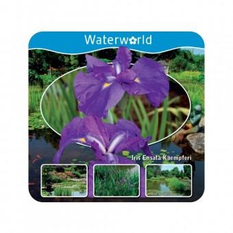 Japanische Sumpf-Schwertlilie,Wasserpflanze,Komplettset mit Erde,Dünger,etc