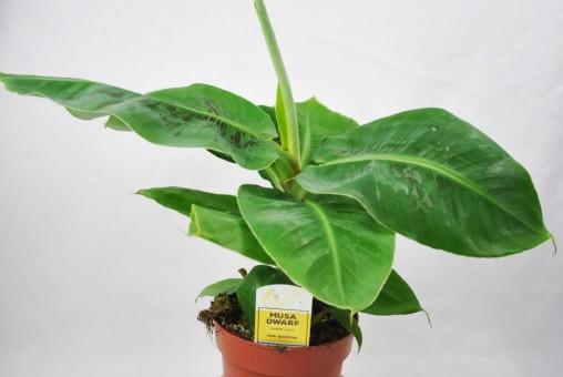 Bananenpflanze,Fruchtbanane,Musa Dwarf,Zwergbanane,Pflanze mit ca.40cm