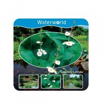 Pfeilkraut,breitblättrig,Wasserpflanze,Komplettset