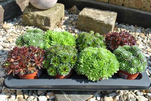 Sempervivum,Hauswurz, 4 schöne große Pflanzen,im 12er Topf,verschiedene Sorten
