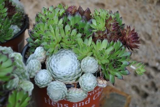 Sempervivum, Hauswurz, 3 Töpfe mit schönen großen Pflanzen,%%Ausverkauf;50 Rabatt%% Wir liefern die doppelte Menge zum gleichen Preis